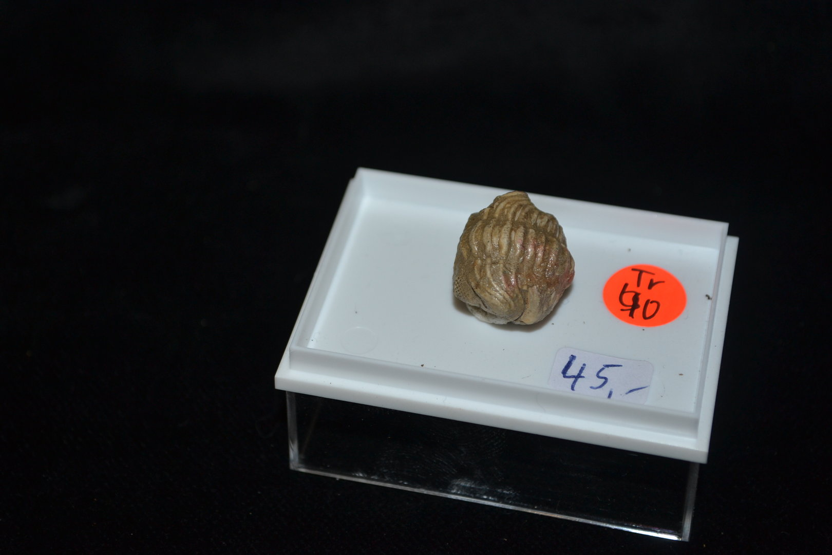 fossil  trilobite Phacops Middle Devonian Gees