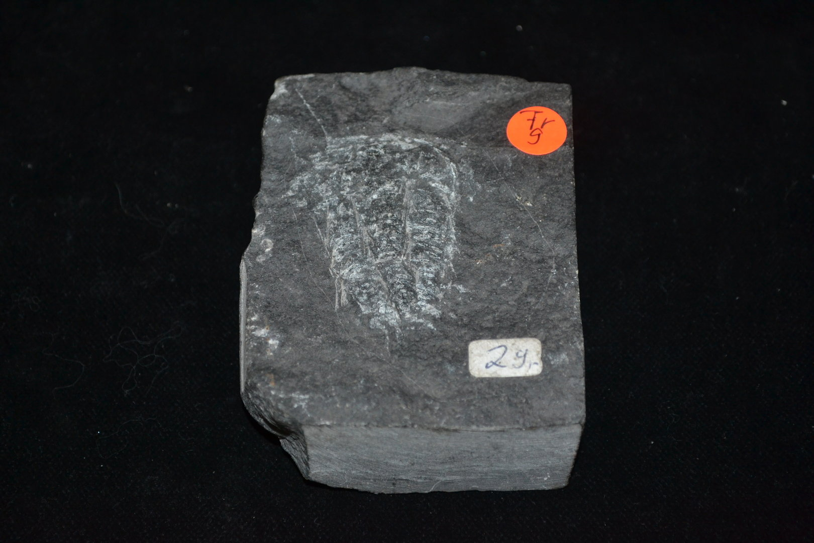 Fossil trilobite Lower Cambrian Yunnan South china